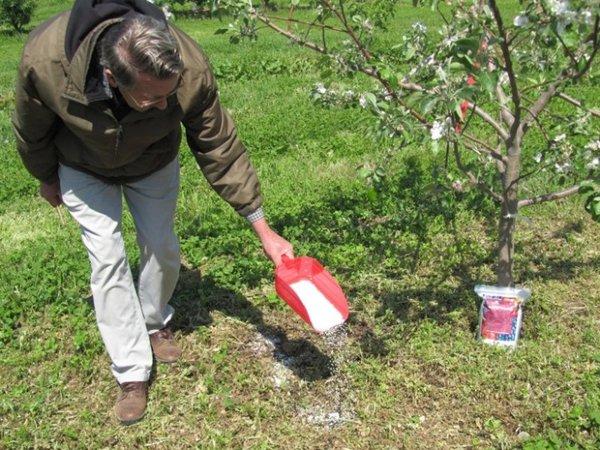 Весенние подкормки яблонь