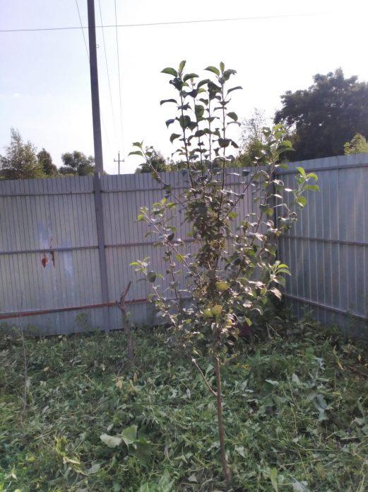 Молодое деревце яблони Елена