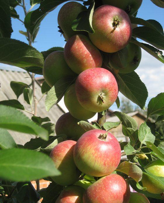 Зрелые яблоки сорта Елена