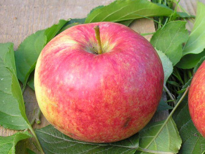 Плод яблони Красное раннее