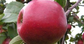 Яблоня сорта Красное раннее
