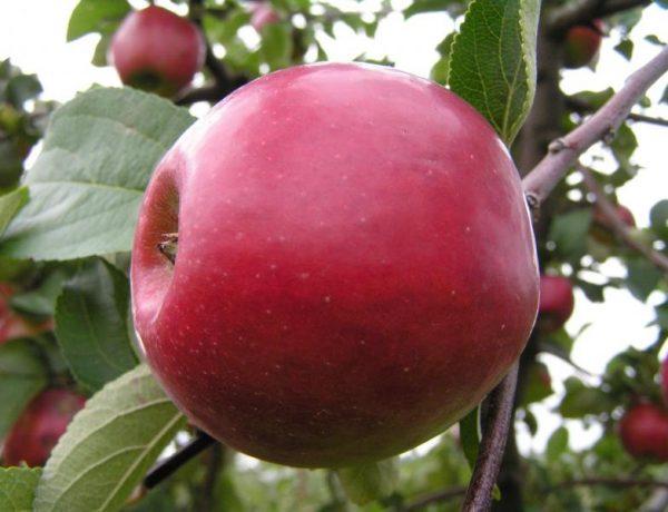 Сорт яблони Красное раннее — украшение сада и вкусные плоды