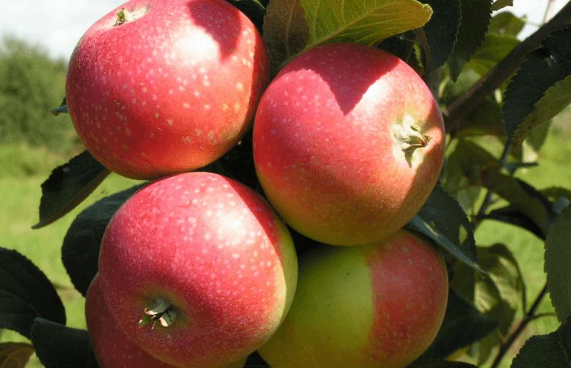 Яблоня сорта Елена