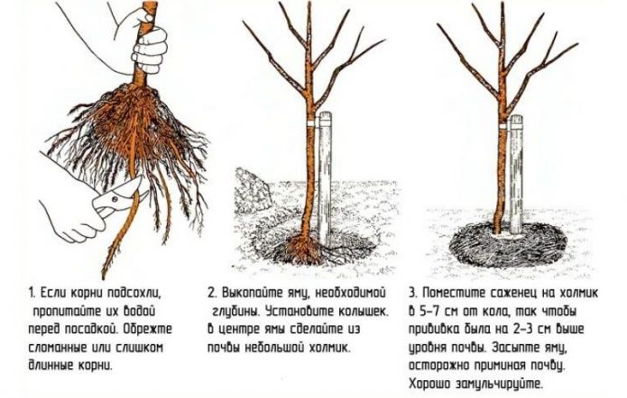 Посадка колонновидных яблонь