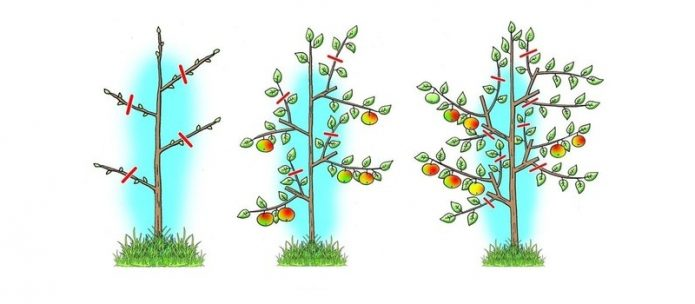 Схема обрезки колонновидных растений