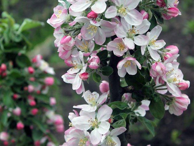 Цветы колонновидных яблонь