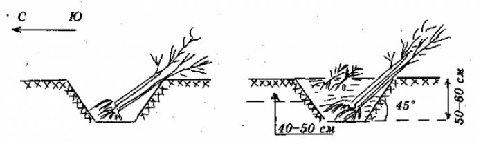 Схема прикопа саженца на зиму