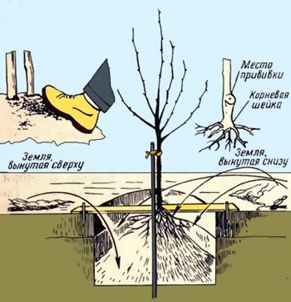 Схема посадки фруктового дерева