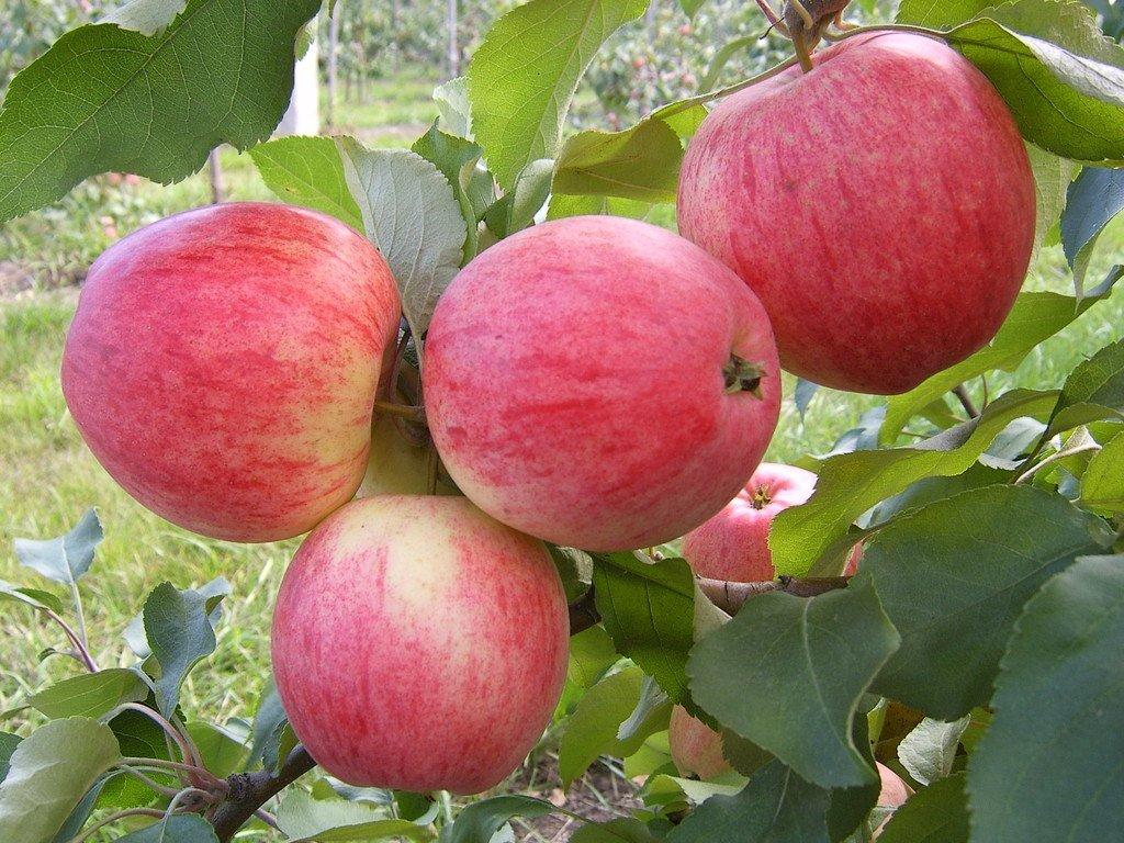 Самые лучшие сладкие сорта яблонь для Подмосковья и их особенности