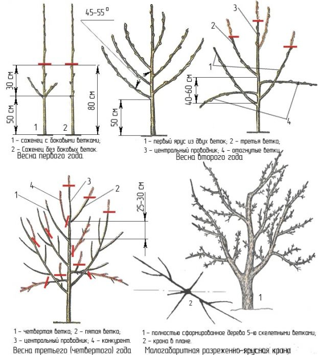 Формирование кроны фруктового дерева