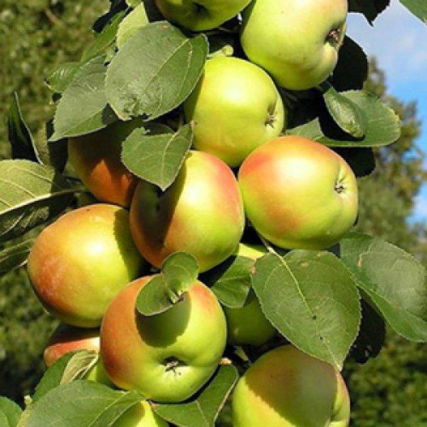 Колонновидная яблоня сорта Янтарное ожерелье