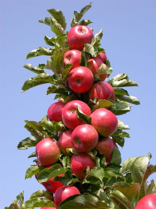 Колонновидная яблоня сорта Фламенко