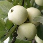 плоды яблок сорта Белый налив