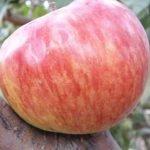 плоды яблок сорта Анис свердловский