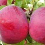 плоды яблок сорта Горнист