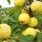 плоды яблок сорта Уральское наливное