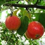 плоды яблок сорта Серебряное копыте