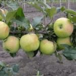 плоды яблок сорта Подснежник