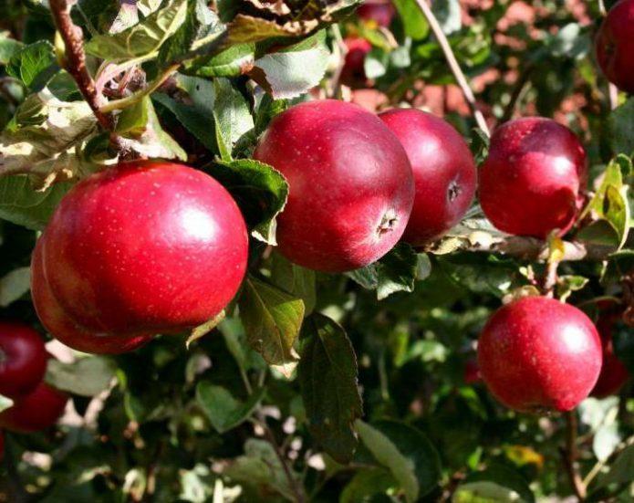 Спелые плоды яблони Красное раннее