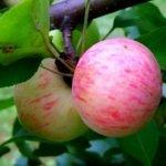 Сорт яблок Грушевка Подмосковья