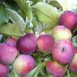 Сорт яблок Арбат