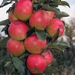 Сорт яблок Московское ожерелье