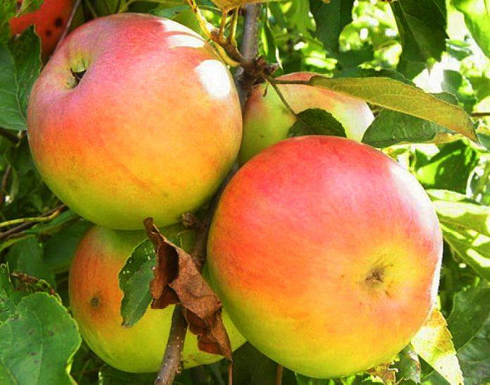 Яблоки сорта Имрус