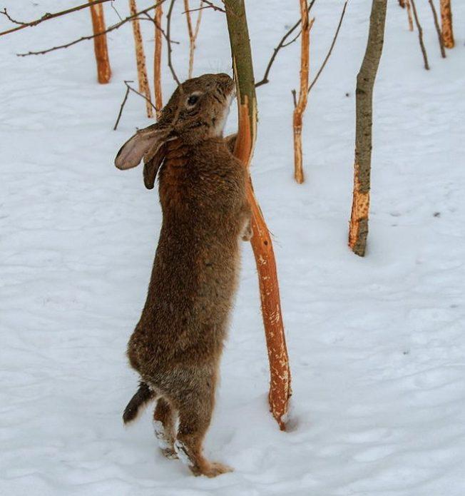 Зайцы повреждают дерево