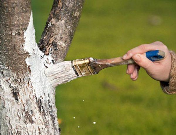 Весенняя побелка яблонь: правила и рекомендации