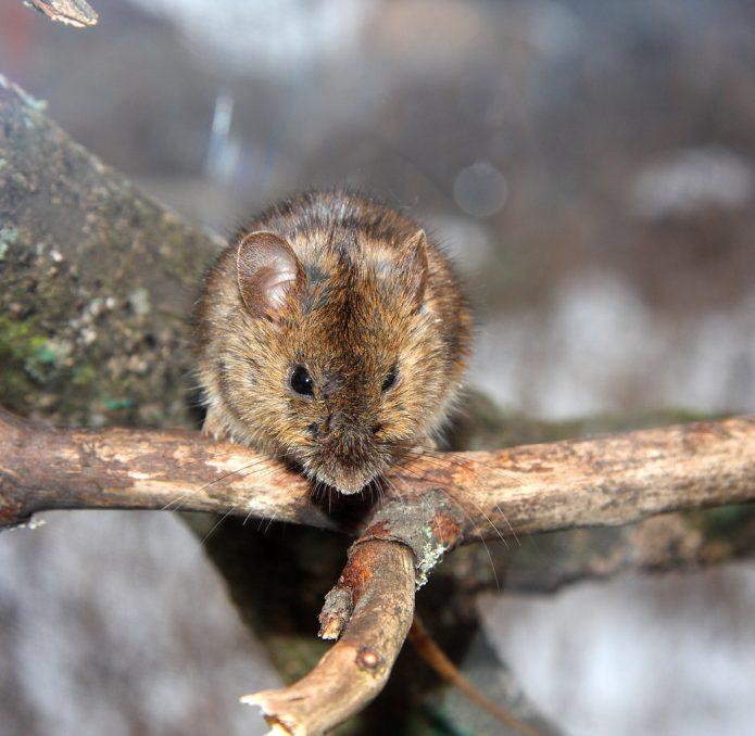 Повреждение яблони мышами