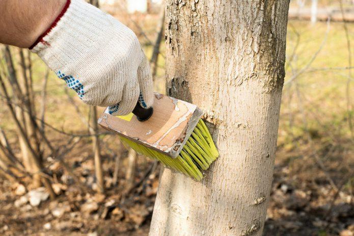 Побелка деревьев кистью-макловицей