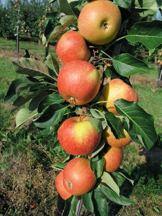 Колонновидная яблоня сорта Восторг