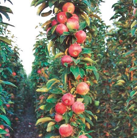 Колонновидная яблоня сорта Луч