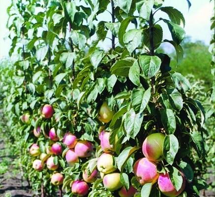 Колонновидная яблоня сорта Стела