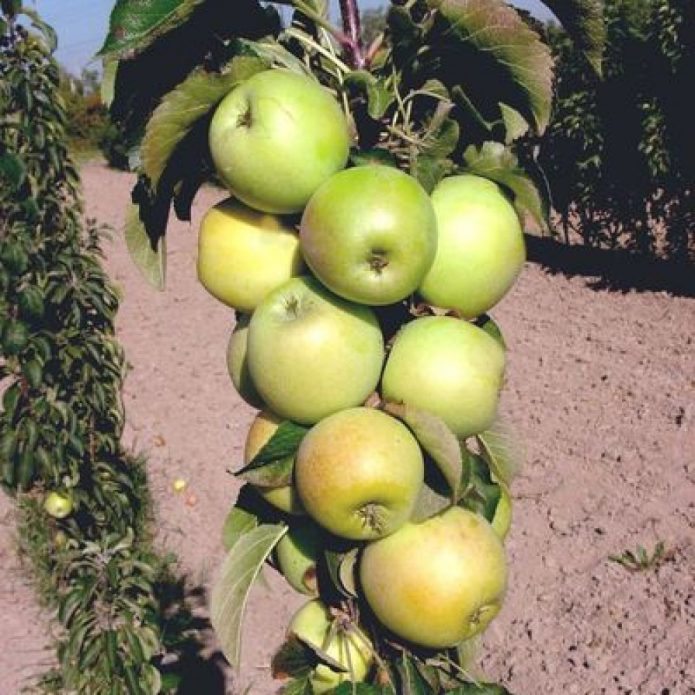 Колонновидная яблоня сорта Малюха