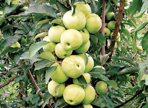 Колонновидная яблоня сорта Медок