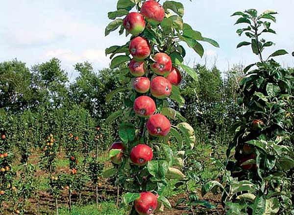 Колонновидная яблоня сорта Останкино