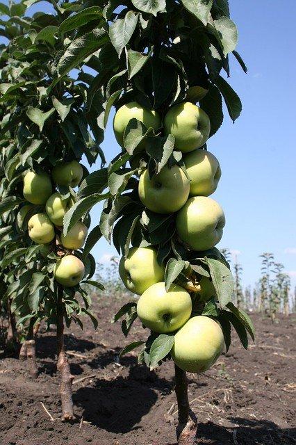 Колонновидная яблоня сорта Президент