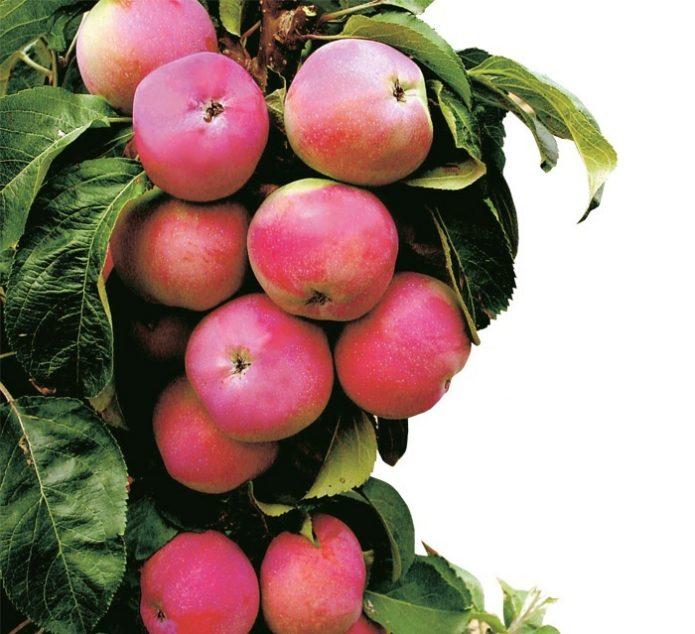 Колонновидная яблоня сорта Червонец