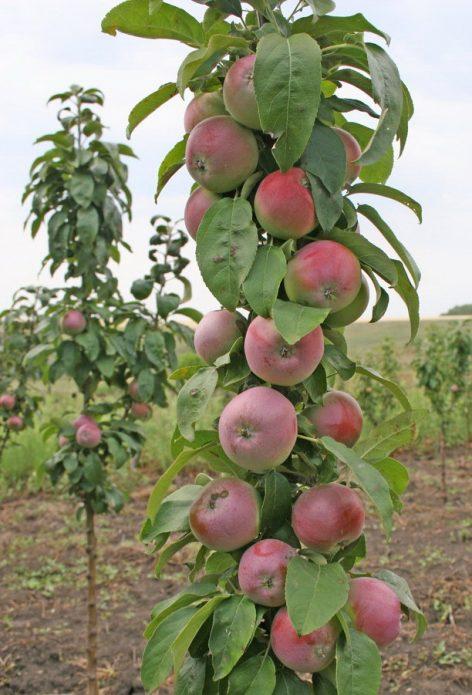 Колонновидная яблоня сорта Триумф