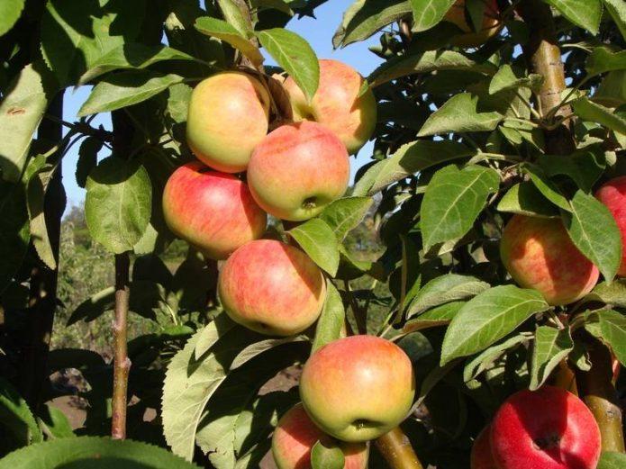 Колонновидная яблоня сорта Джин