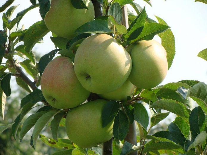 Колонновидная яблоня сорта Болеро