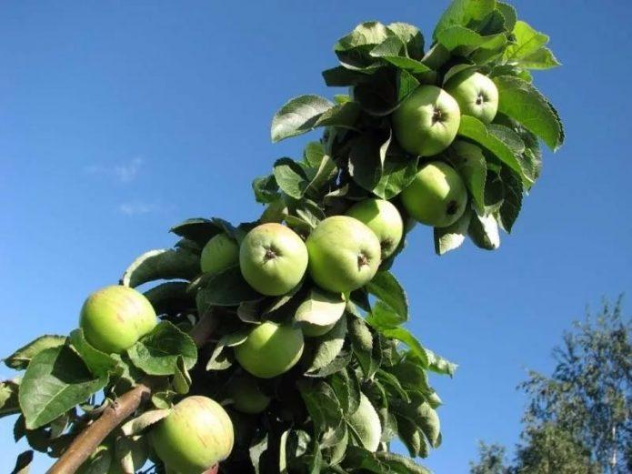 Колонновидная яблоня сорта Приокское