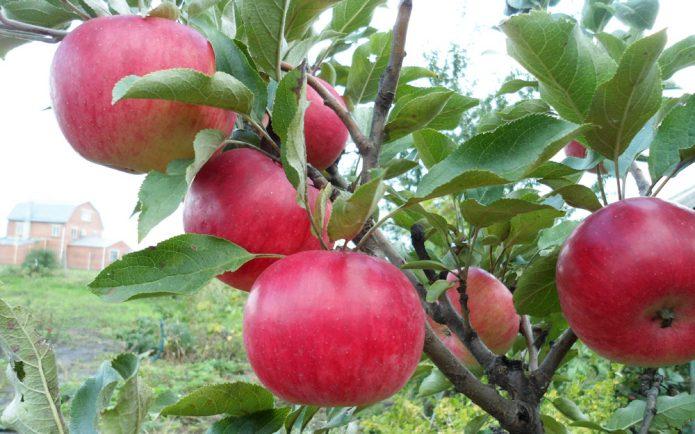 Колонновидная яблоня сорта Васюган