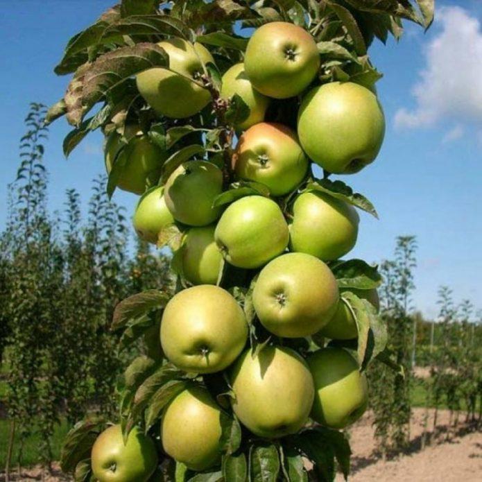 Колонновидная яблоня сорта Икша