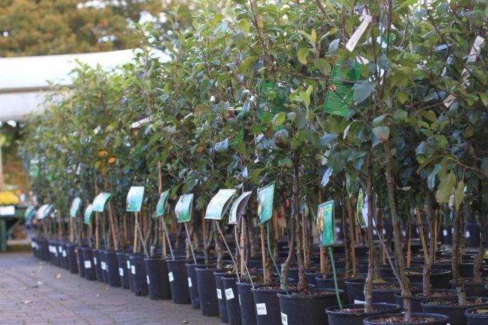 Саженцы яблони в питомнике