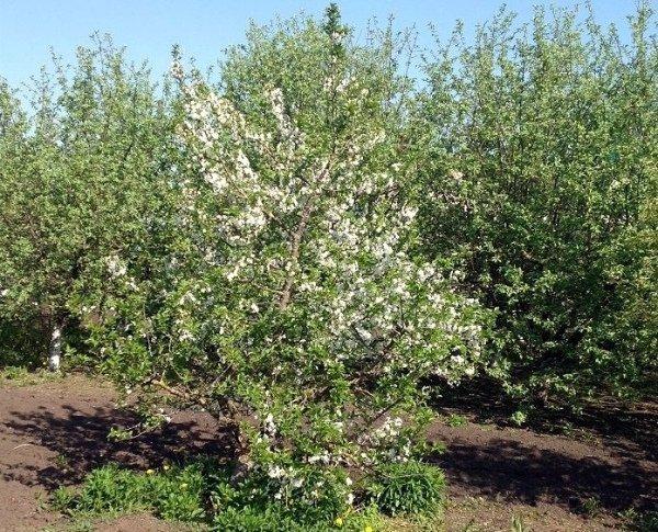 Цветущая яблоня низкорослого сорта