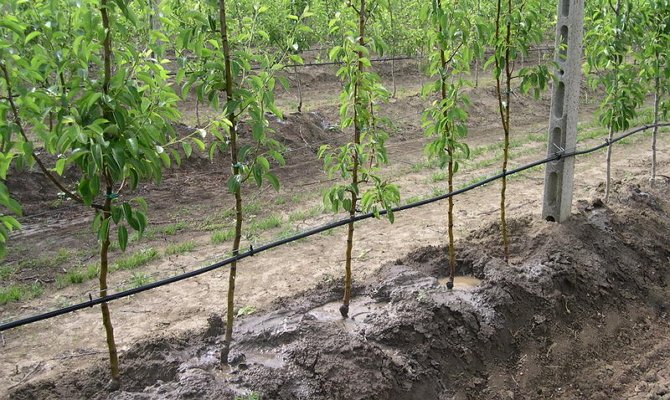 Капельный полив яблонь