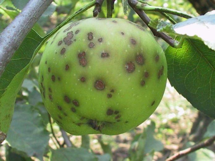 повреждённое паршой яблоко