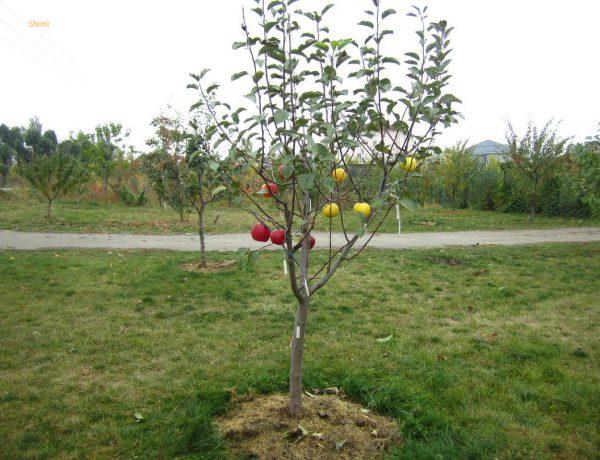 Как выбрать саженец яблони, сохранить его до весны и правильно посадить